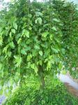 しだれ桑の木.jpg