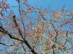 枝垂桜つぼみ.jpg
